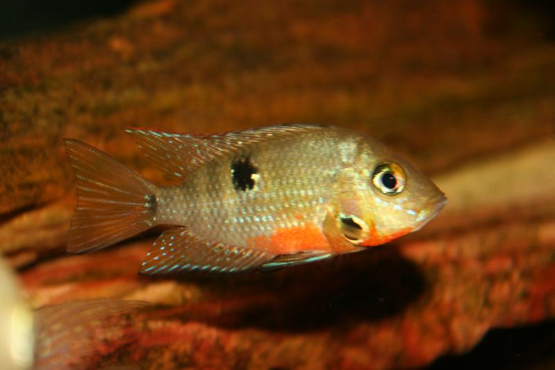 Royal tropical fish and bird haven fish for Large peaceful community fish